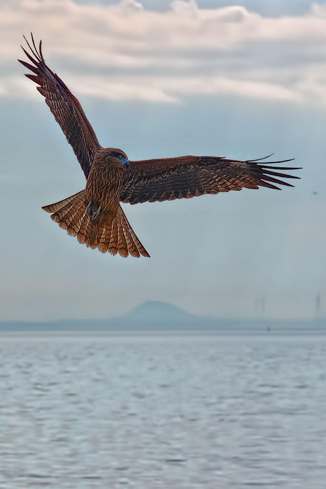 Kite In Japan